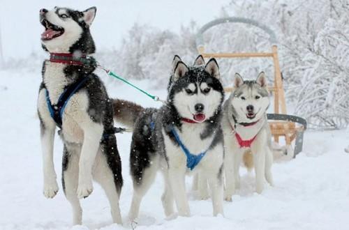 snowmonbile 2 - Koira